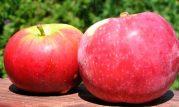 maçã querina bio